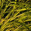 Native-grasses — Stock Photo