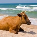 Leisure series: cow take a sunbathe on the sea beach — Stock Photo #1242886