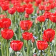 Red tulips — Stock Photo #1247710