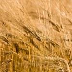 ������, ������: Wheat