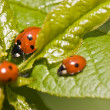 Ladybird — Stock Photo