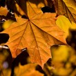 maple leaf&quot — Stock Photo #1275577