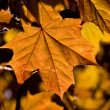 Maple leaf — Stock Photo #1275577
