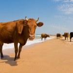 Sunbathing cow — Stock Photo