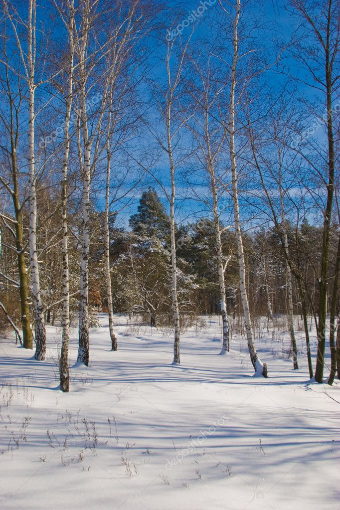 Nature series: winter landscape with new birch — Stock Photo #1279656