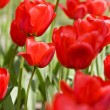 Red tulips — Stock Photo #1282085