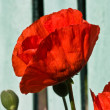 Poppy — Stock Photo #1282585