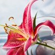 Lily, romantic mood — Stock Photo