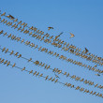Bird series: flock of martin bird on wires — Stock Photo #1292041