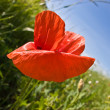 Poppy — Stock Photo #1293404