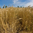 Wheat field — Stock Photo #1293604
