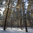 Winter forest — Stock Photo #1294921