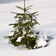 FIR tree — Stockfoto #1296268