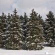 Stock Photo: Fir forest