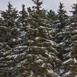Fir forest — Stock Photo #1296388