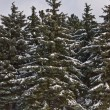Foto de Stock  : Fir forest