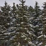 Еловый лес — Стоковое фото