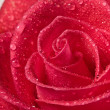 Red rose - Stockfoto