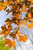 Javorový list — Stock fotografie