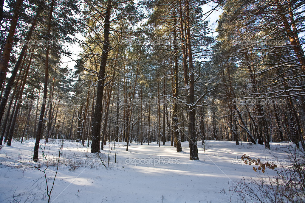 View series: winter snowy forest in the morning — Stock Photo #1294896