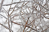 Frozen twig — Photo