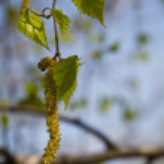 Birch catkin — Stock Photo #1310879