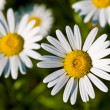 Camomile — Stock Photo #1311215