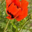 Poppy — Stock Photo #1311481