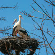 Stork at the nest — Stock Photo
