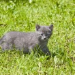 Grey kitten — Stock Photo