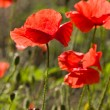 Poppy — Stock Photo #1313038