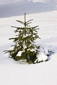 árvore de abeto — Foto Stock