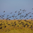 Stock Photo: Migrant birds