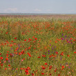 Poppy field — Stock Photo #1350989
