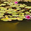 Water-lily — Stock Photo #1351130
