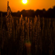 Golden landscape: native grasses on the sunset — Zdjęcie stockowe #1351194