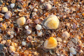 Sea shell texture — Stock Photo