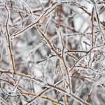 Frozen twig — Stock Photo