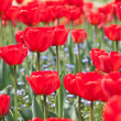 Red tulips — Stock Photo #1397010