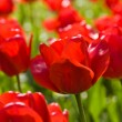 Tulip — Stock Photo #1397775