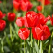 Tulip — Stock Photo #1397808