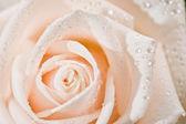 Růže — Stock fotografie