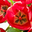 Red tulips — Stock Photo #1442545