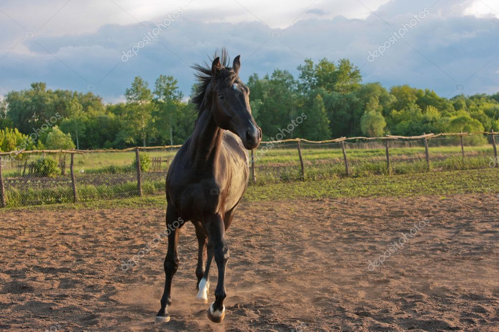 Animal series: black horse run on the farm — Stock Photo #1440030