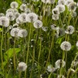 Dandelion — Stock Photo #1451406