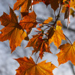 Red maple's leaf — Stock Photo