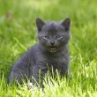 Gray cat on green grass — Stok Fotoğraf #1458313