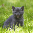 Gray cat on green grass — Stock fotografie #1458313