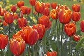 Tulip's field — Stock Photo