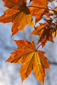 Golden maple's leaf — Stock Photo